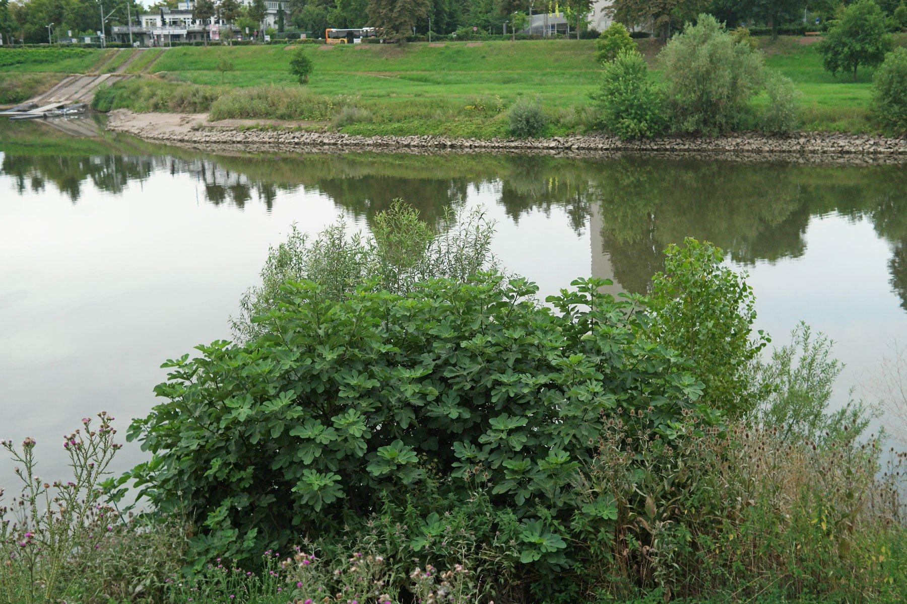 Feigenbaum am Neckar